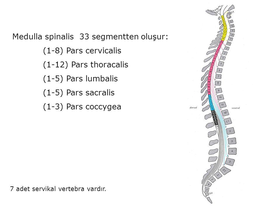Medulla spinalis 33 segmentten oluşur: (1-8) Pars cervicalis (1-12) Pars thoracalis (1-5) Pars lumbalis (1-5) Pars sacralis (1-3) Pars coccygea 7 adet