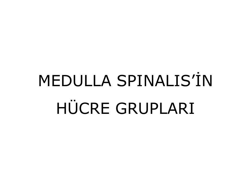 MEDULLA SPINALIS'İN HÜCRE GRUPLARI