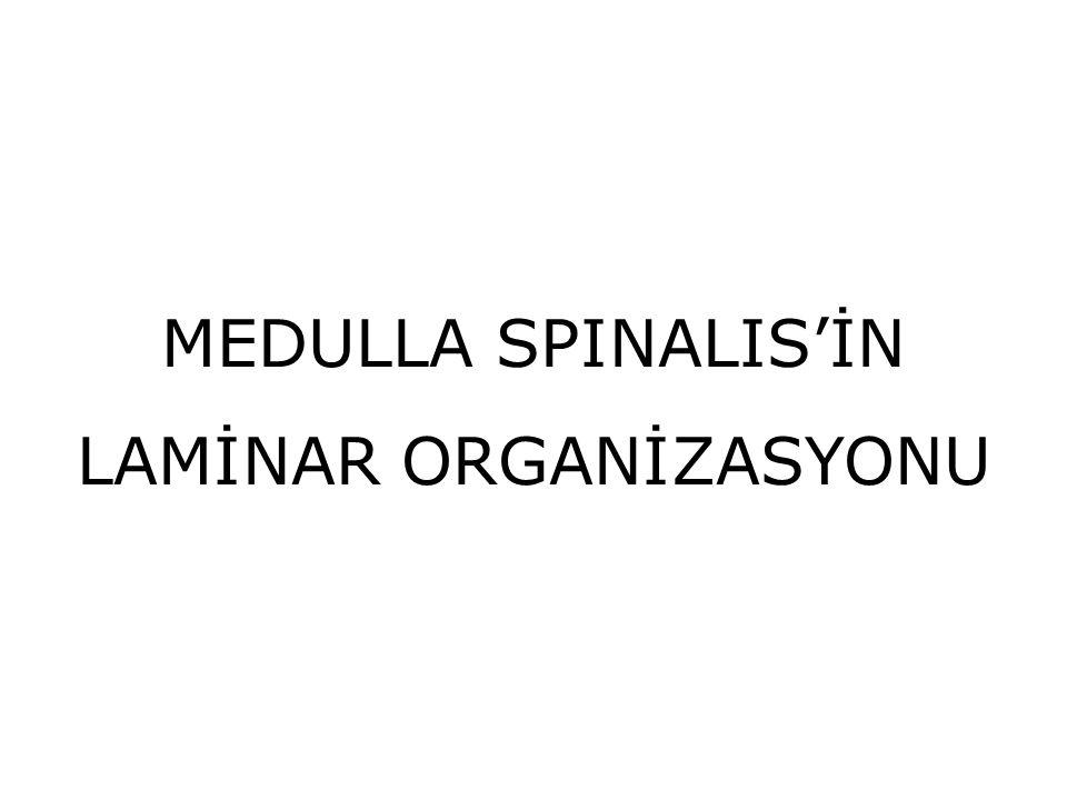 MEDULLA SPINALIS'İN LAMİNAR ORGANİZASYONU