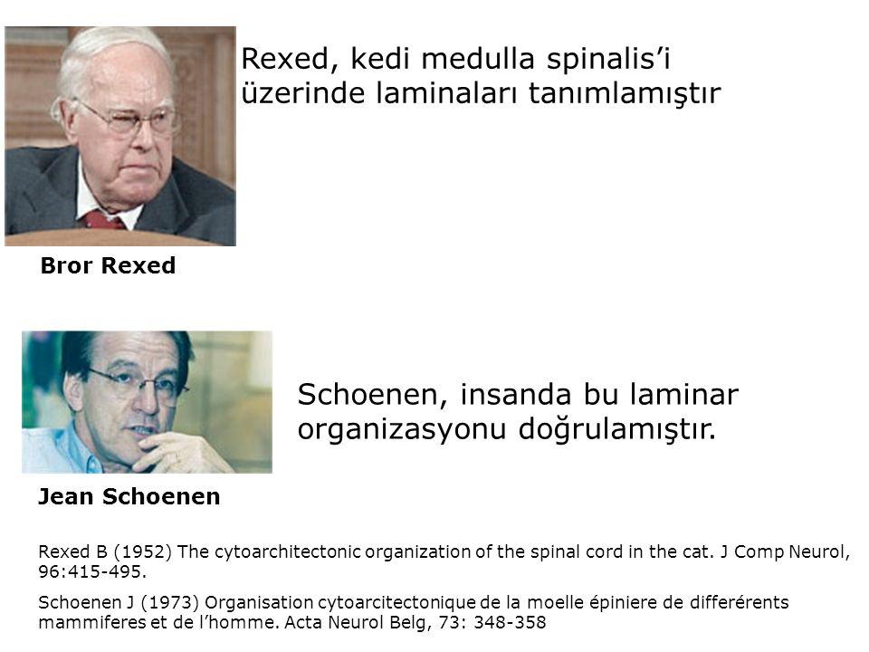 Rexed, kedi medulla spinalis'i üzerinde laminaları tanımlamıştır Bror Rexed Schoenen, insanda bu laminar organizasyonu doğrulamıştır. Rexed B (1952) T