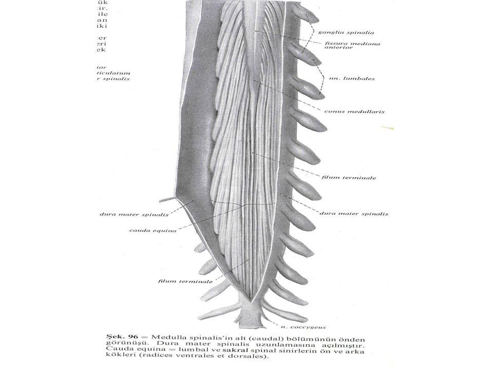 Medulla spinalis'in genişlemeleri Intumescencia cervicalis Intumescentia lumbosacralis