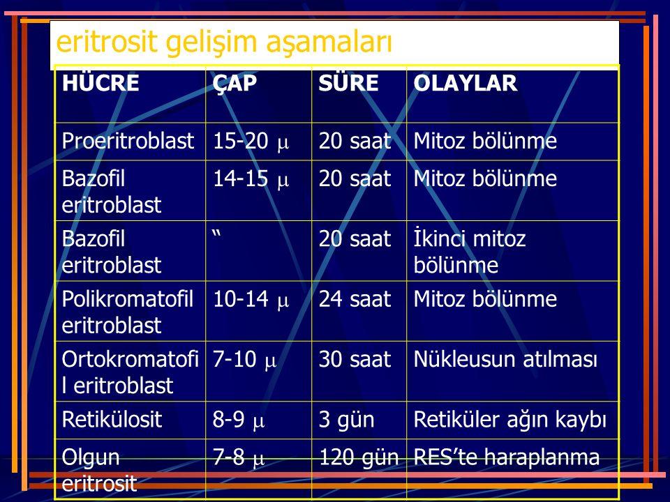 eritrosit gelişim aşamaları HÜCREÇAPSÜREOLAYLAR Proeritroblast 15-20  20 saatMitoz bölünme Bazofil eritroblast 14-15  20 saatMitoz bölünme Bazofil e