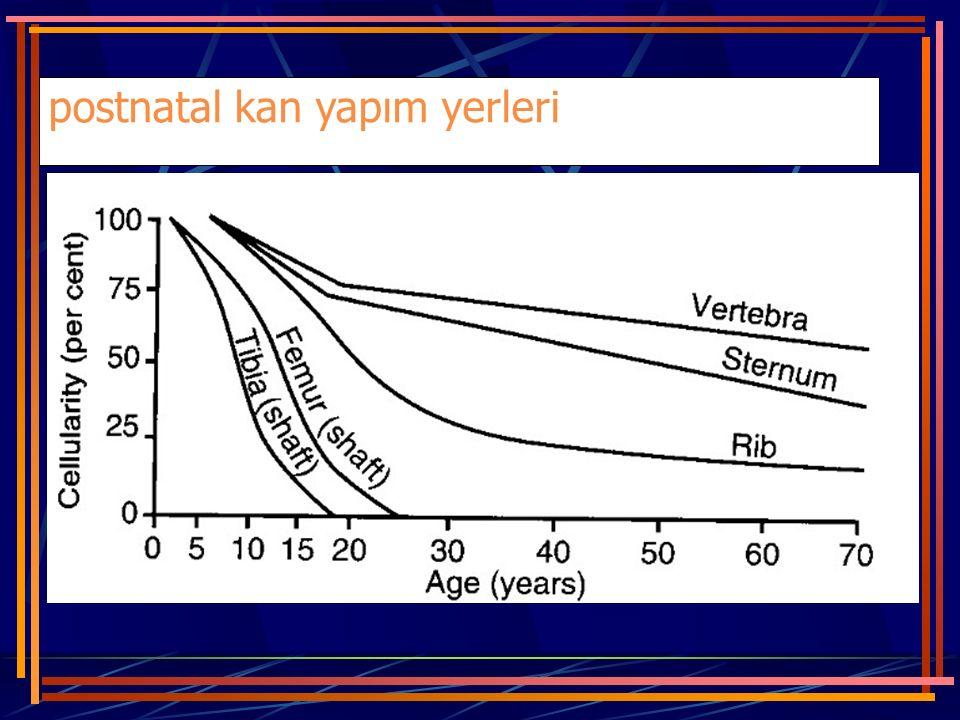 pluri(multi)potent kök hücre Bölündüğünde; ya yeniden iki kardeş pluripotent hücre oluşur, ya da belirli yönde farklılaşarak olgun bir kan hücresine prolifere olur (CFU-coloni forming unit).