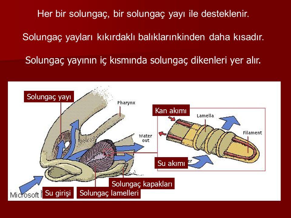 Her bir solungaç, bir solungaç yayı ile desteklenir.