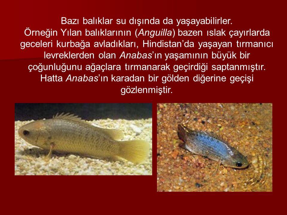 Bazı balıklar su dışında da yaşayabilirler. Örneğin Yılan balıklarının (Anguilla) bazen ıslak çayırlarda geceleri kurbağa avladıkları, Hindistan'da ya