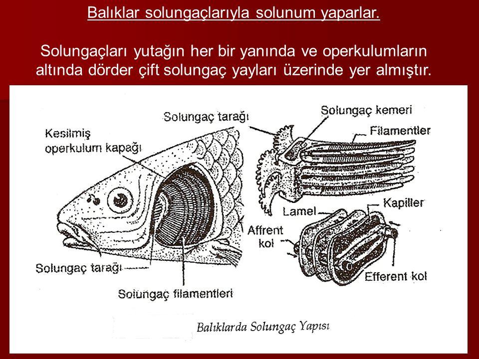 Balıklar solungaçlarıyla solunum yaparlar. Solungaçları yutağın her bir yanında ve operkulumların altında dörder çift solungaç yayları üzerinde yer al