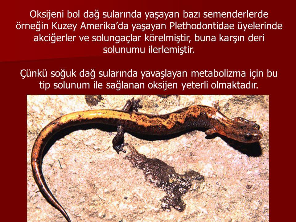 Oksijeni bol dağ sularında yaşayan bazı semenderlerde örneğin Kuzey Amerika'da yaşayan Plethodontidae üyelerinde akciğerler ve solungaçlar körelmiştir