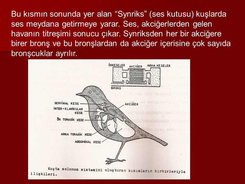 """Bu kısmın sonunda yer alan """"Synriks"""" (ses kutusu) kuşlarda ses meydana getirmeye yarar. Ses, akciğerlerden gelen havanın titreşimi sonucu çıkar. Synri"""