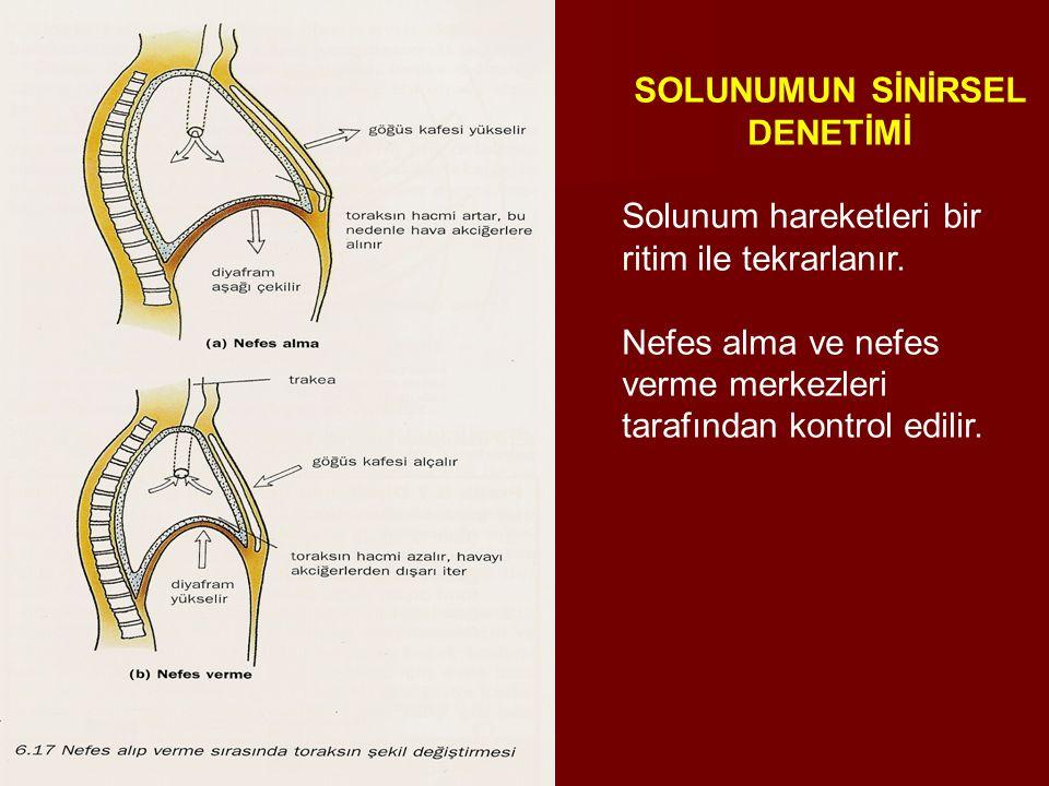 SOLUNUMUN SİNİRSEL DENETİMİ Solunum hareketleri bir ritim ile tekrarlanır. Nefes alma ve nefes verme merkezleri tarafından kontrol edilir.