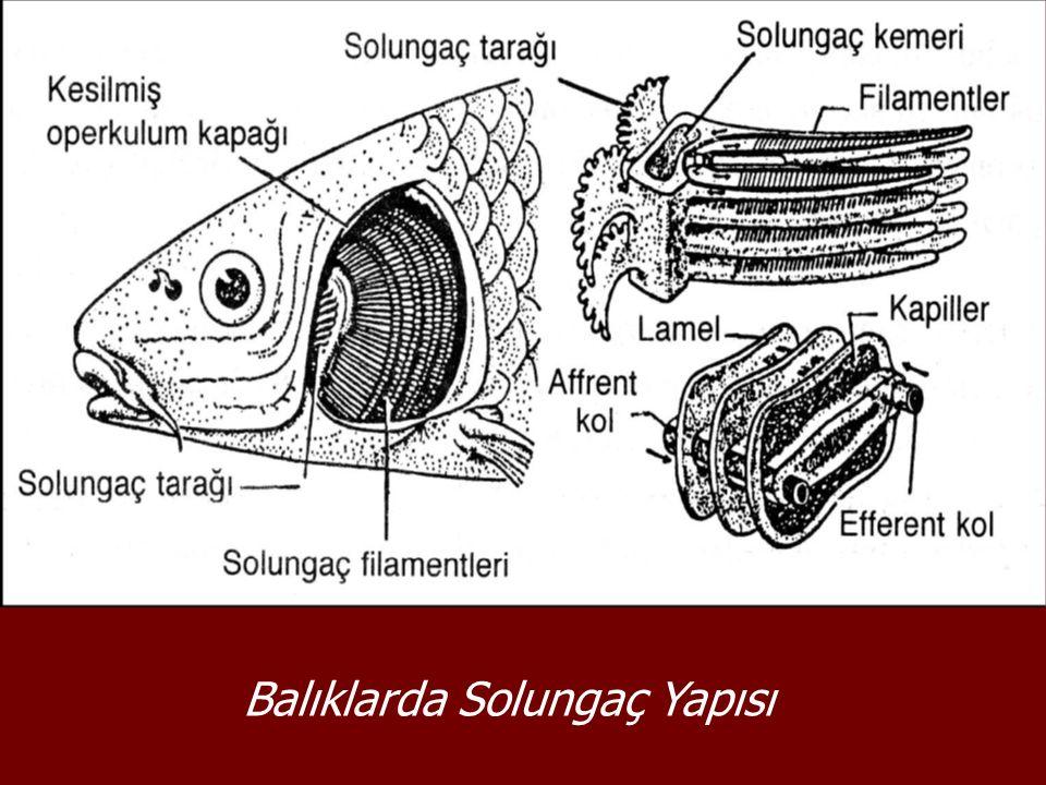 Balıklarda Solungaç Yapısı