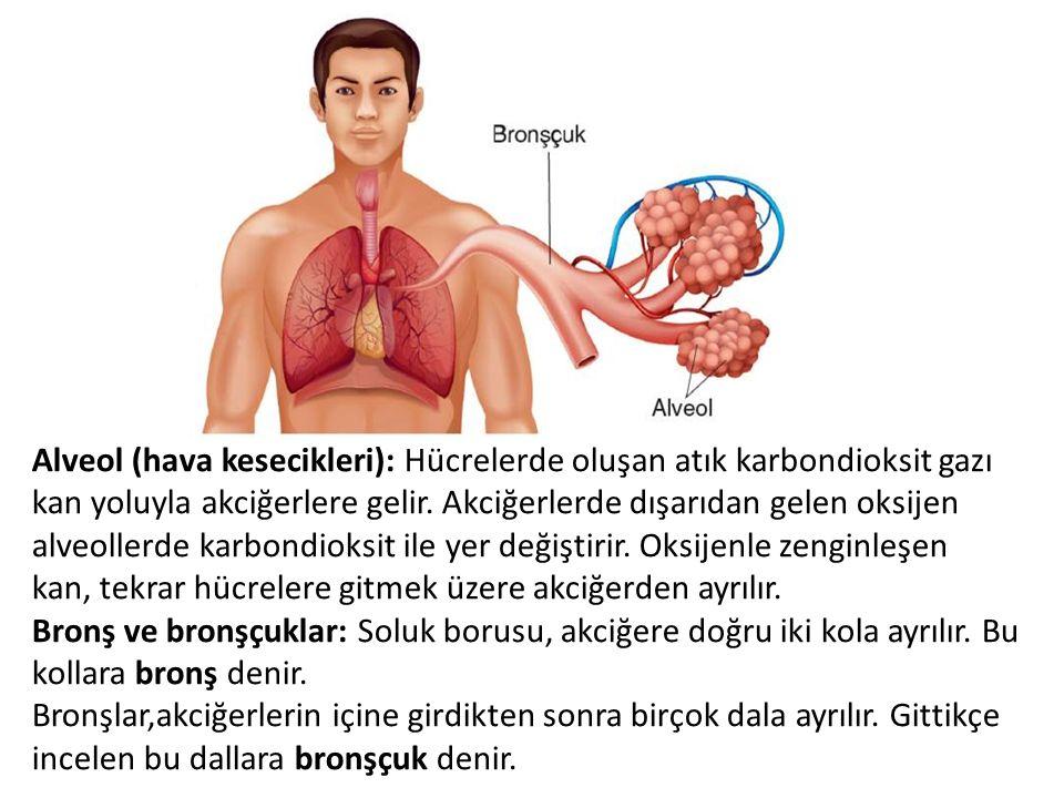 Alveol (hava kesecikleri): Hücrelerde oluşan atık karbondioksit gazı kan yoluyla akciğerlere gelir. Akciğerlerde dışarıdan gelen oksijen alveollerde k