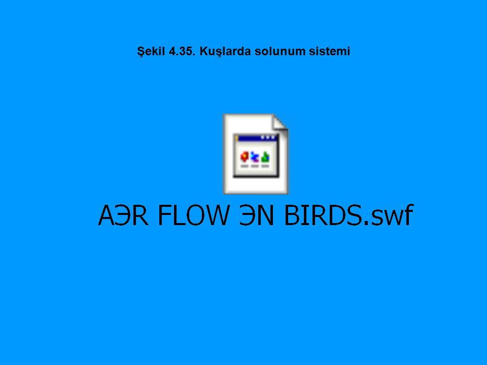 Şekil 4.35. Kuşlarda solunum sistemi