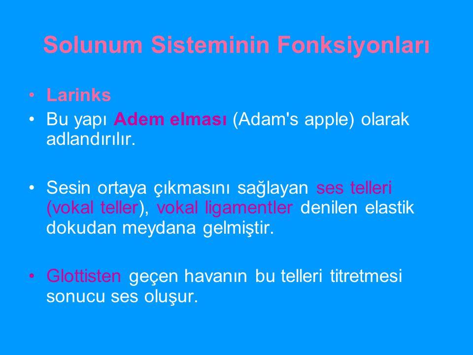 Solunum Sisteminin Fonksiyonları Larinks Bu yapı Adem elması (Adam's apple) olarak adlandırılır. Sesin ortaya çıkmasını sağlayan ses telleri (vokal te