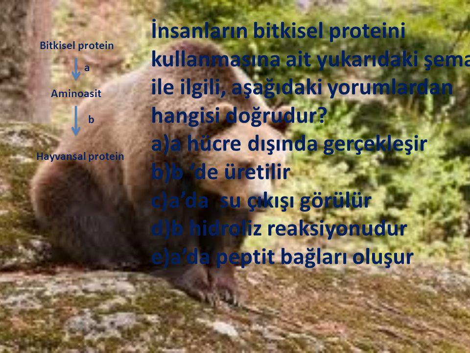 Bitkisel protein Aminoasit Hayvansal protein a b İnsanların bitkisel proteini kullanmasına ait yukarıdaki şema ile ilgili, aşağıdaki yorumlardan hangi
