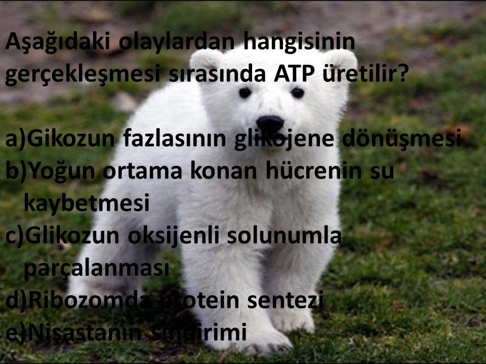 Aşağıdaki olaylardan hangisinin gerçekleşmesi sırasında ATP üretilir? a)Gikozun fazlasının glikojene dönüşmesi b)Yoğun ortama konan hücrenin su kaybet