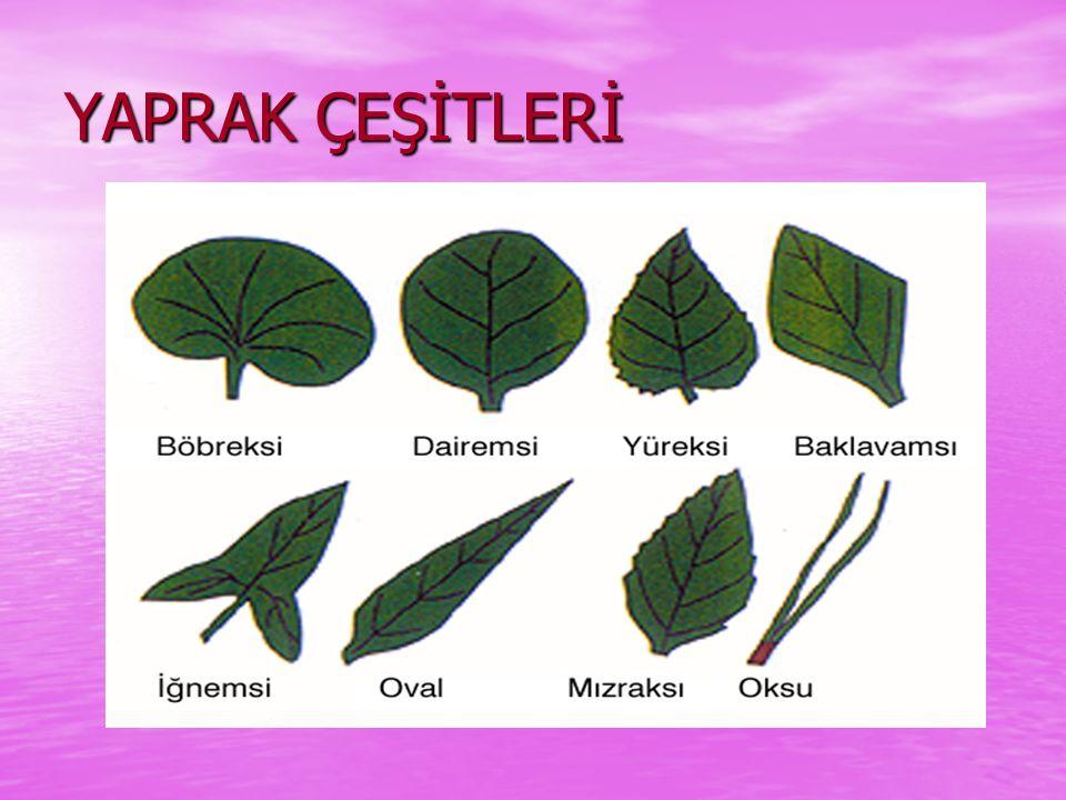 YAPRAK Marul, ıspanak,maydanoz, tere roka gibi bitkilerin yaprağını yeriz.