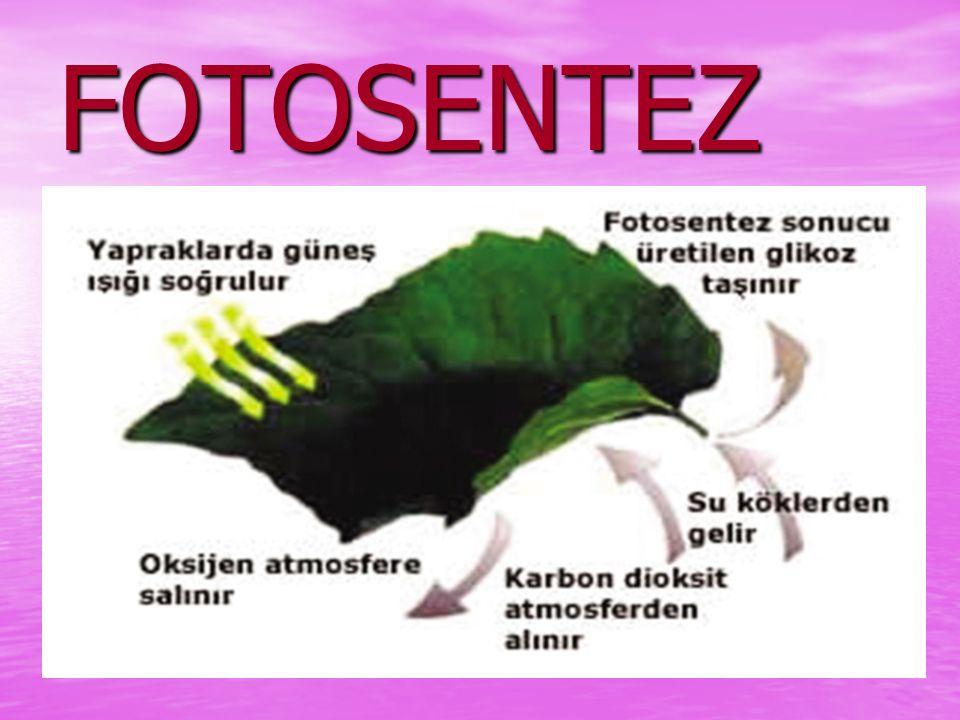 YAPRAĞIN GÖREVLERİ Besin yapmak( Fotosentez) Besin yapmak( Fotosentez) Solunum yapmak Solunum yapmak Terleme ( Boşaltım) Terleme ( Boşaltım)
