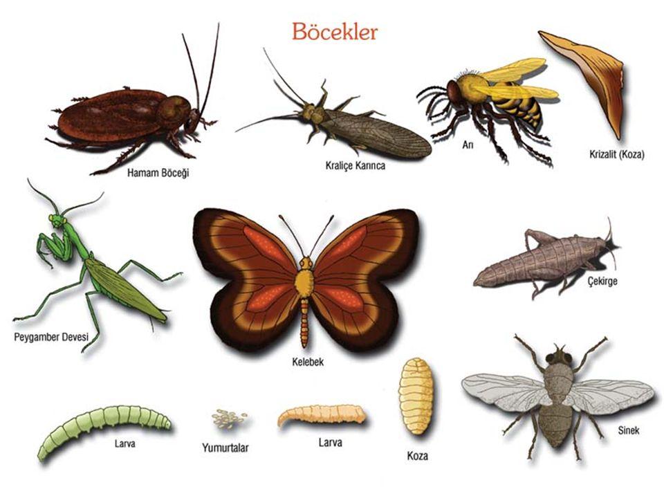 KELEBEK: Çiçeklerin üzerine konan rengarenk olan kelebek omurgasız bir hayvandır.