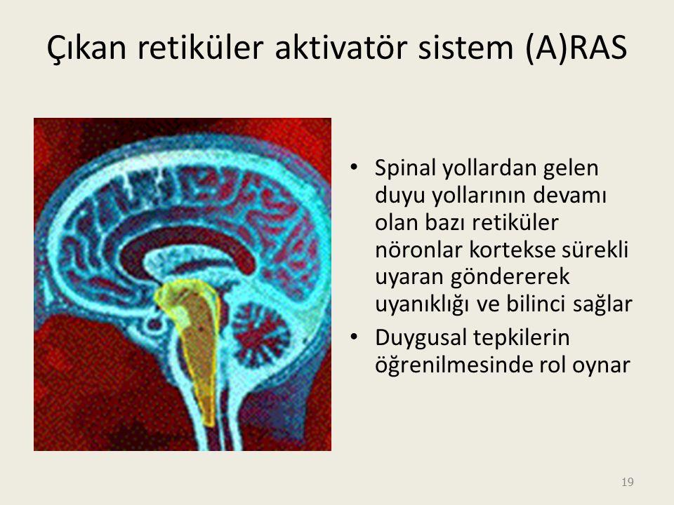 19 Çıkan retiküler aktivatör sistem (A)RAS Spinal yollardan gelen duyu yollarının devamı olan bazı retiküler nöronlar kortekse sürekli uyaran göndererek uyanıklığı ve bilinci sağlar Duygusal tepkilerin öğrenilmesinde rol oynar
