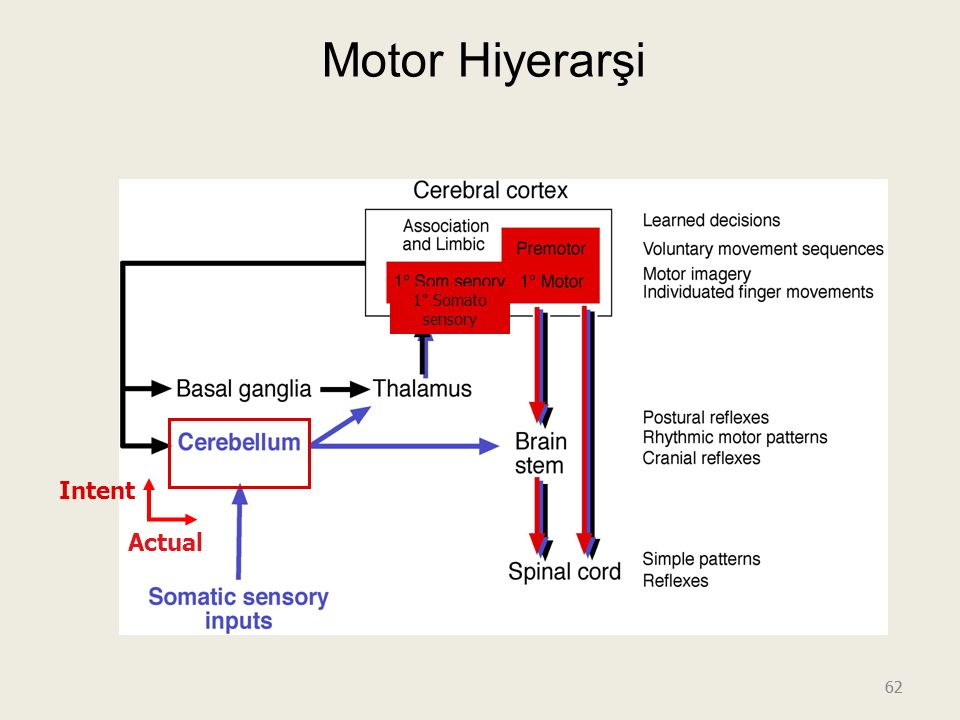 62 Motor Hiyerarşi Intent Actual 1° Somato sensory