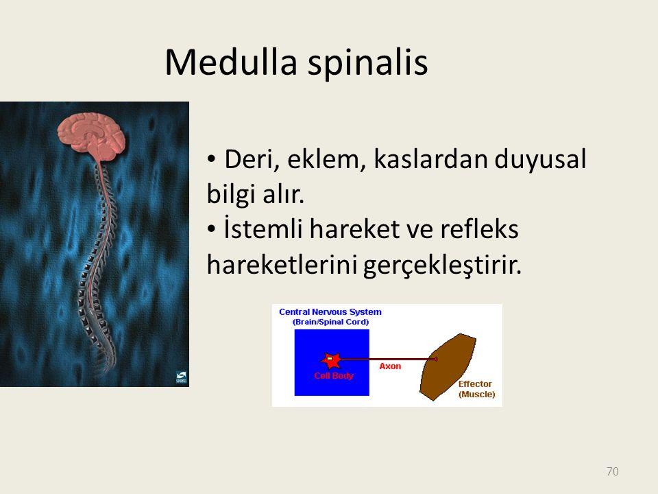 70 Medulla spinalis Deri, eklem, kaslardan duyusal bilgi alır.