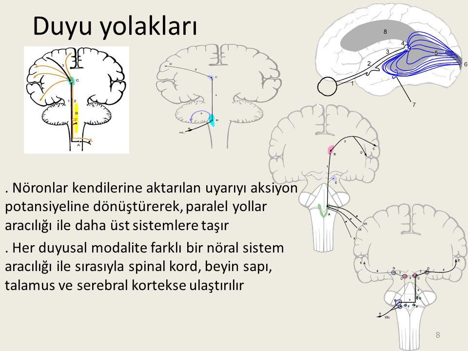 9 Duyu işleme Duyu reseptörlerinden gelen bilginin üst merkezlere iletilmesi – Duyuların bir kısmı medulla spinaliste işlemlenerek refleks tepkiler oluşturulur – Bir kısmı beyin sapında işlem görerek göz hareketleri, baş ve gövdede pozisyonel değişiklikler gibi kompleks motor aktiviteler oluşturulur 9