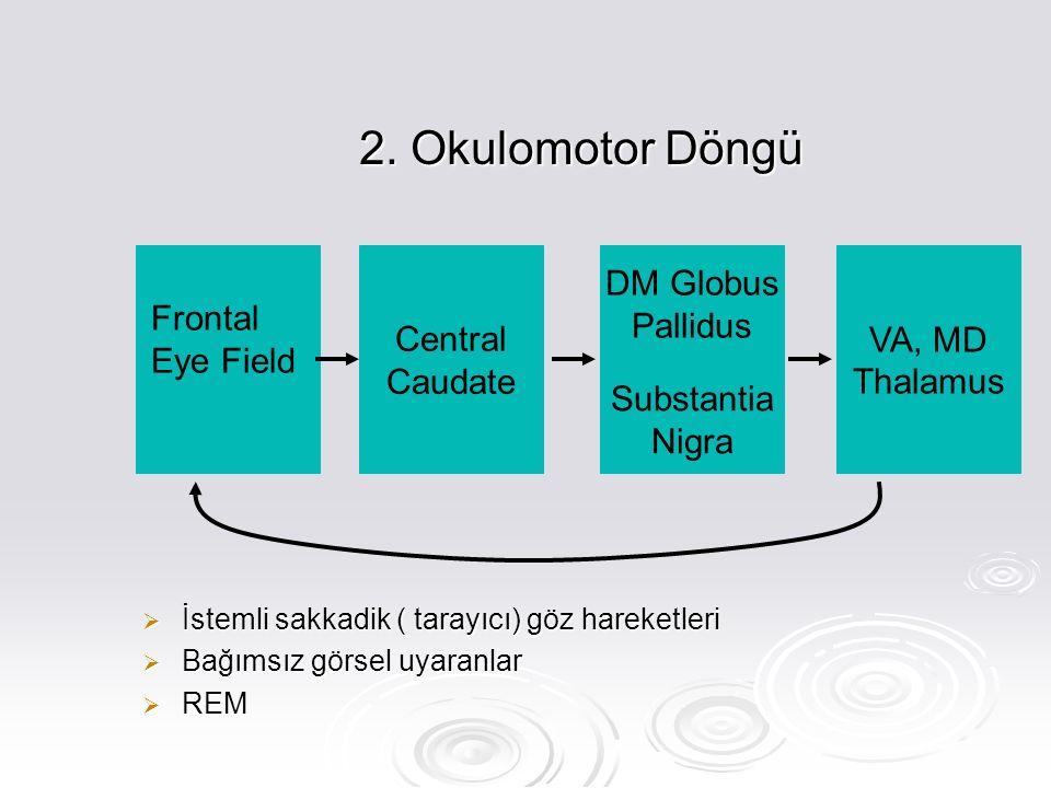 2. Okulomotor Döngü  İstemli sakkadik ( tarayıcı) göz hareketleri  Bağımsız görsel uyaranlar  REM Frontal Eye Field Central Caudate DM Globus Palli