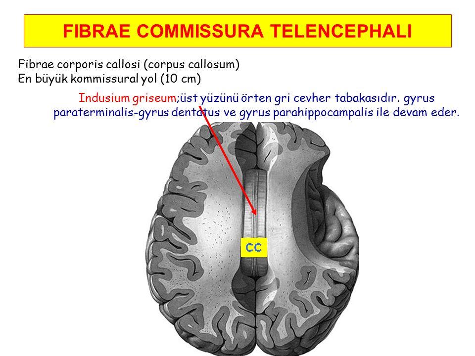 FIBRAE COMMISSURA TELENCEPHALI Fibrae corporis callosi (corpus callosum) En büyük kommissural yol (10 cm) Indusium griseum;üst yüzünü örten gri cevher tabakasıdır.