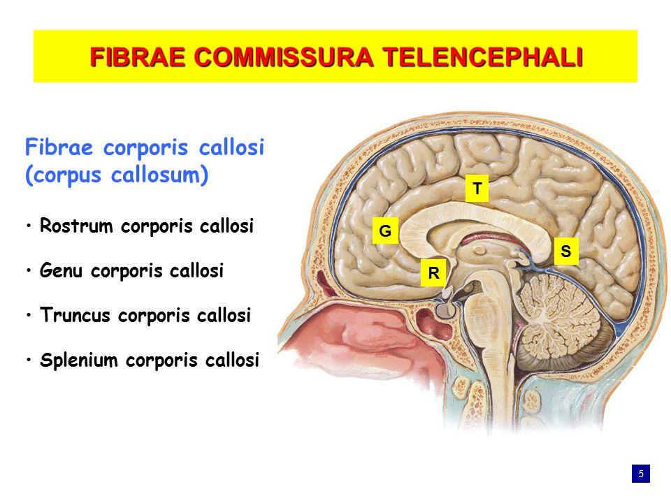 FIBRAE COMMISSURA TELENCEPHALI Fibrae corporis callosi (corpus callosum) Rostrum corporis callosi Genu corporis callosi Truncus corporis callosi Splen