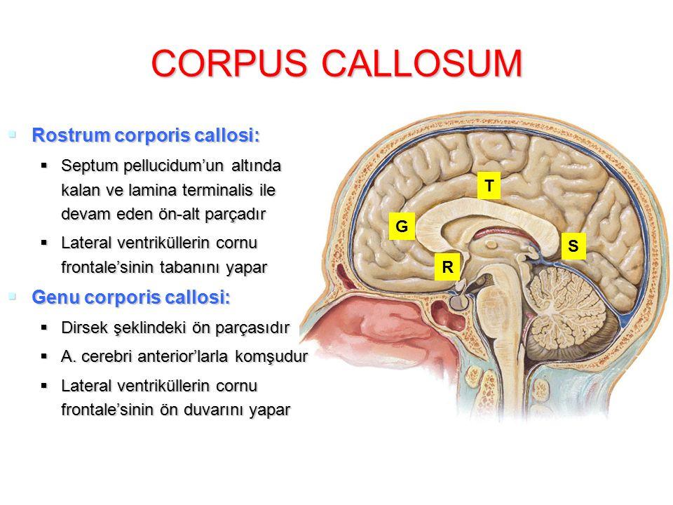 R G T S CORPUS CALLOSUM  Rostrum corporis callosi:  Septum pellucidum'un altında kalan ve lamina terminalis ile devam eden ön-alt parçadır  Lateral ventriküllerin cornu frontale'sinin tabanını yapar  Genu corporis callosi:  Dirsek şeklindeki ön parçasıdır  A.