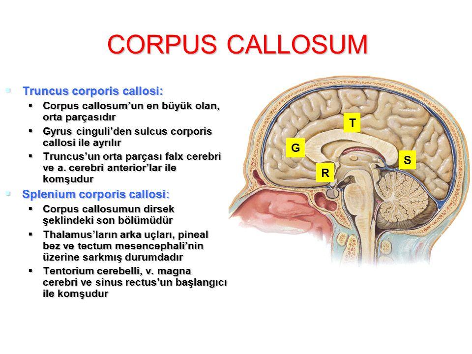 CORPUS CALLOSUM  Truncus corporis callosi:  Corpus callosum'un en büyük olan, orta parçasıdır  Gyrus cinguli'den sulcus corporis callosi ile ayrılır  Truncus'un orta parçası falx cerebri ve a.