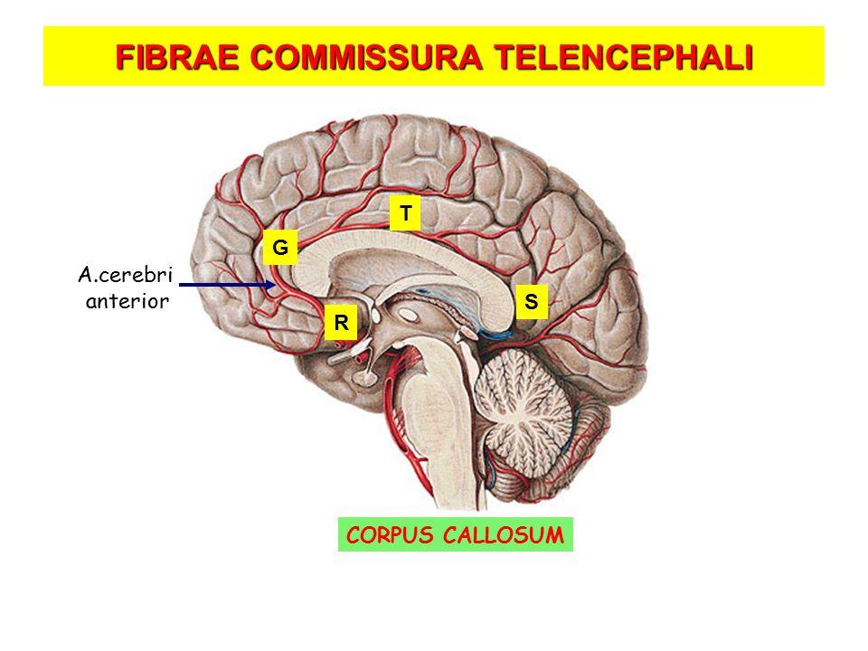 FIBRAE COMMISSURA TELENCEPHALI CORPUS CALLOSUM A.cerebri anterior R G T S