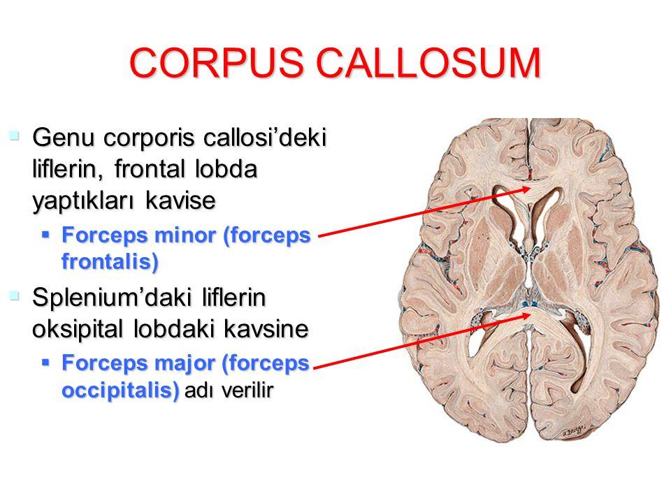 CORPUS CALLOSUM  Genu corporis callosi'deki liflerin, frontal lobda yaptıkları kavise  Forceps minor (forceps frontalis)  Splenium'daki liflerin oksipital lobdaki kavsine  Forceps major (forceps occipitalis) adı verilir
