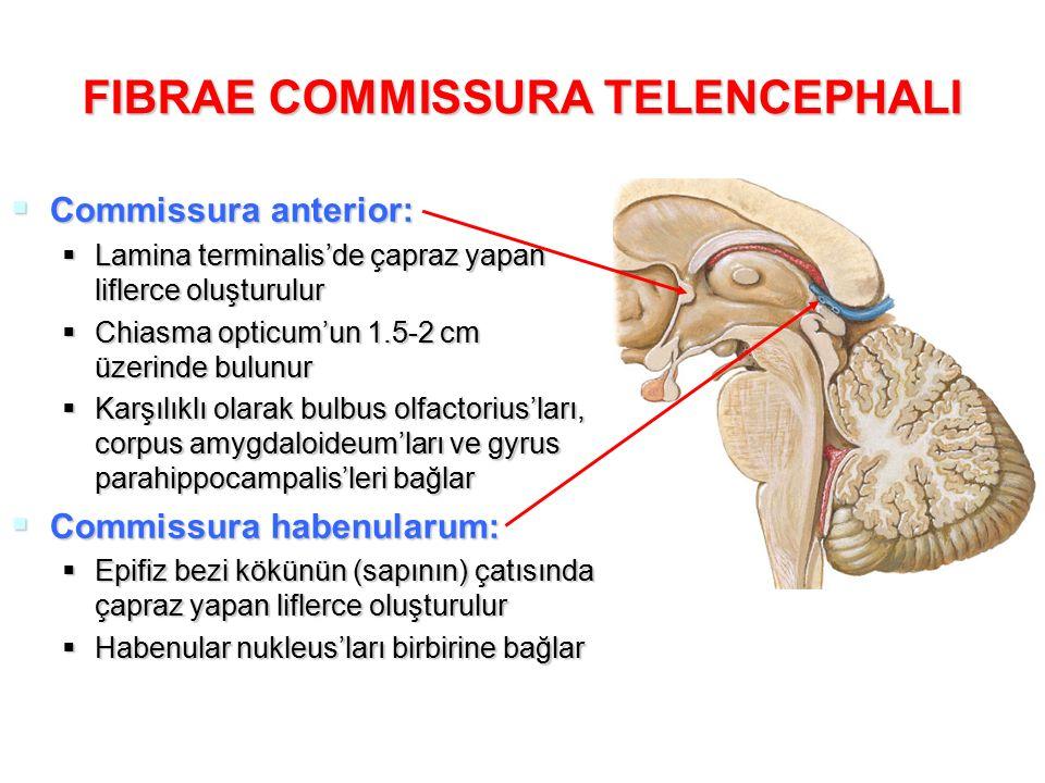 FIBRAE COMMISSURA TELENCEPHALI  Commissura anterior:  Lamina terminalis'de çapraz yapan liflerce oluşturulur  Chiasma opticum'un 1.5-2 cm üzerinde bulunur  Karşılıklı olarak bulbus olfactorius'ları, corpus amygdaloideum'ları ve gyrus parahippocampalis'leri bağlar  Commissura habenularum:  Epifiz bezi kökünün (sapının) çatısında çapraz yapan liflerce oluşturulur  Habenular nukleus'ları birbirine bağlar
