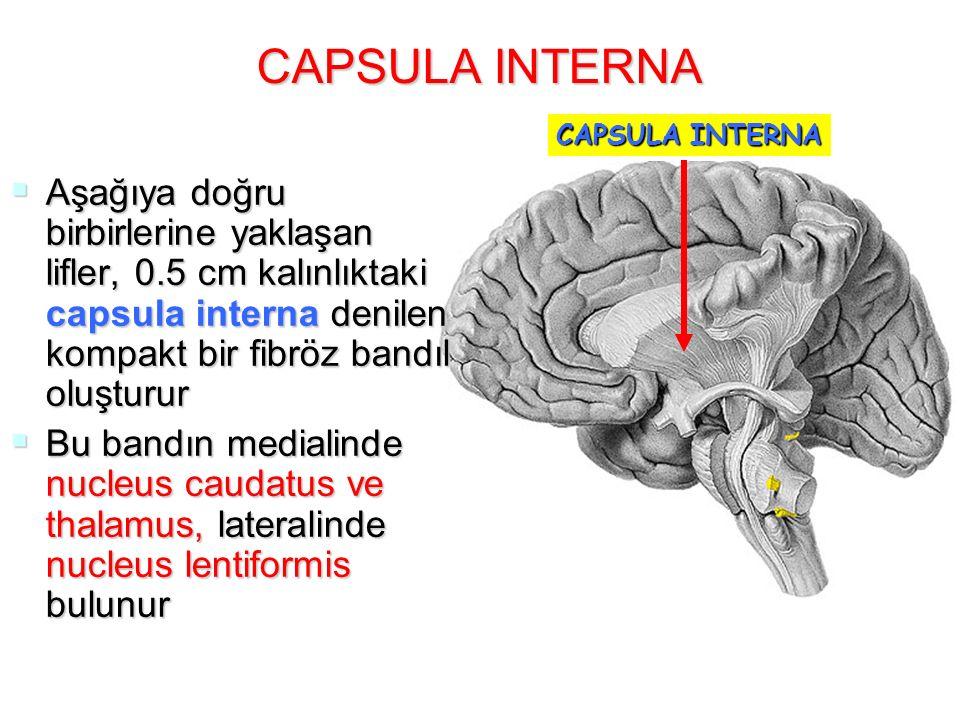 CAPSULA INTERNA  Aşağıya doğru birbirlerine yaklaşan lifler, 0.5 cm kalınlıktaki capsula interna denilen kompakt bir fibröz bandıl oluşturur  Bu ban