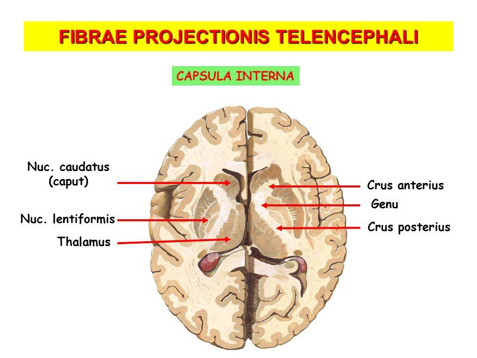 FIBRAE PROJECTIONIS TELENCEPHALI Crus anterius Crus posterius Genu Nuc. caudatus (caput) Thalamus Nuc. lentiformis CAPSULA INTERNA