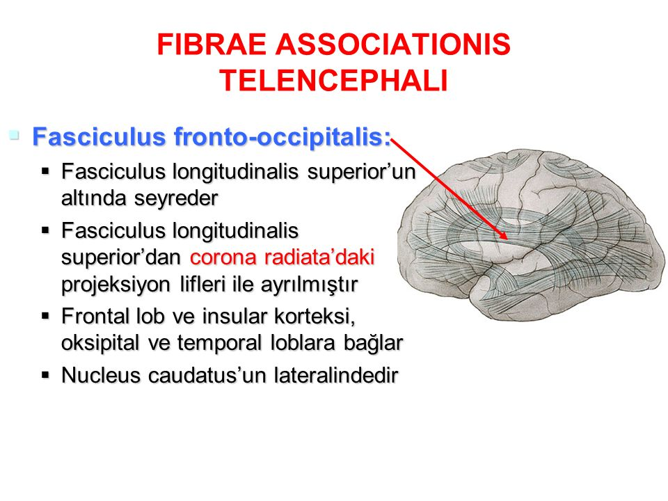 FIBRAE ASSOCIATIONIS TELENCEPHALI  Fasciculus fronto-occipitalis:  Fasciculus longitudinalis superior'un altında seyreder  Fasciculus longitudinali