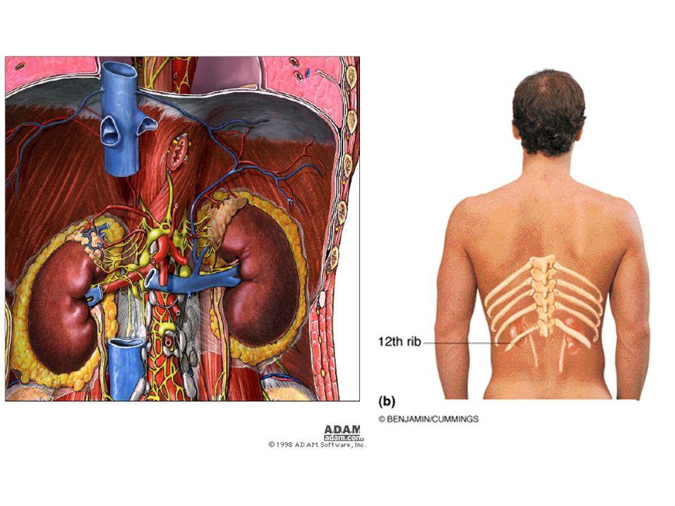 İdrarın oluşması ve vücuttan atılması Kan, böbrek atardamarları yoluyla böbreklere gelir ve nefronlarda süzülür.