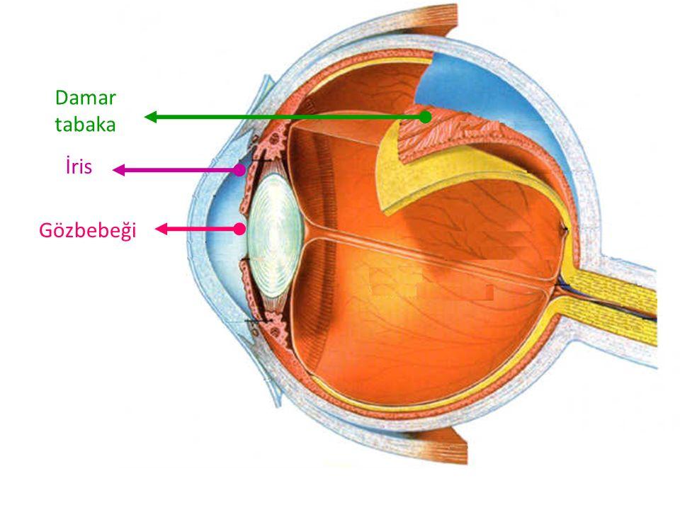 İris Gözbebeği Damar tabaka