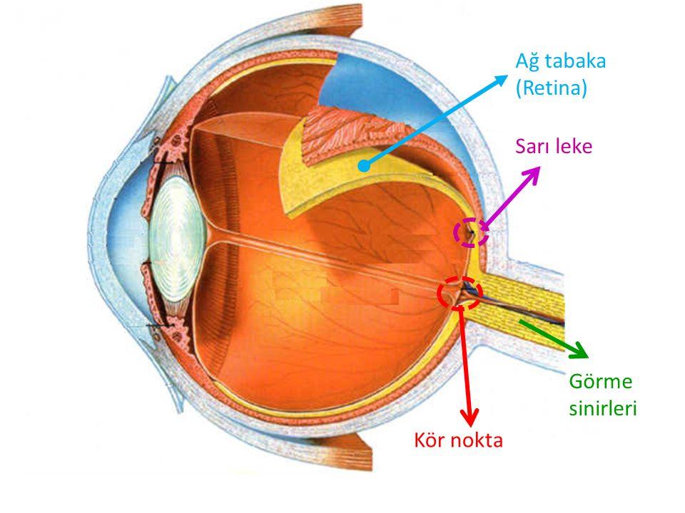 Sarı leke Kör nokta Görme sinirleri Ağ tabaka (Retina)