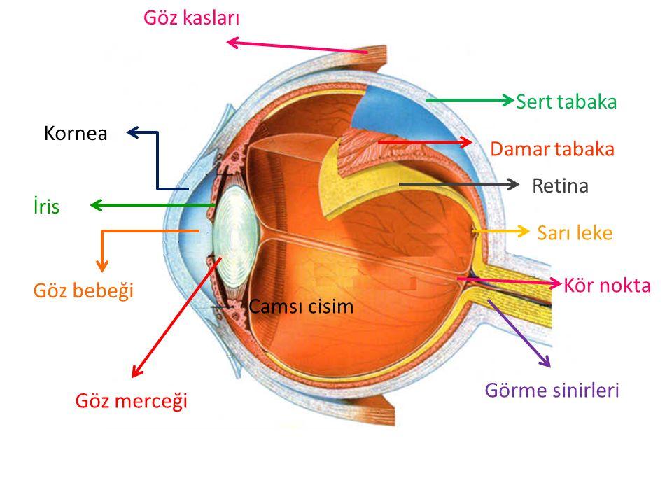 Sert tabaka Damar tabaka Retina Sarı leke Kör nokta Göz kasları Camsı cisim Görme sinirleri Kornea İris Göz bebeği Göz merceği