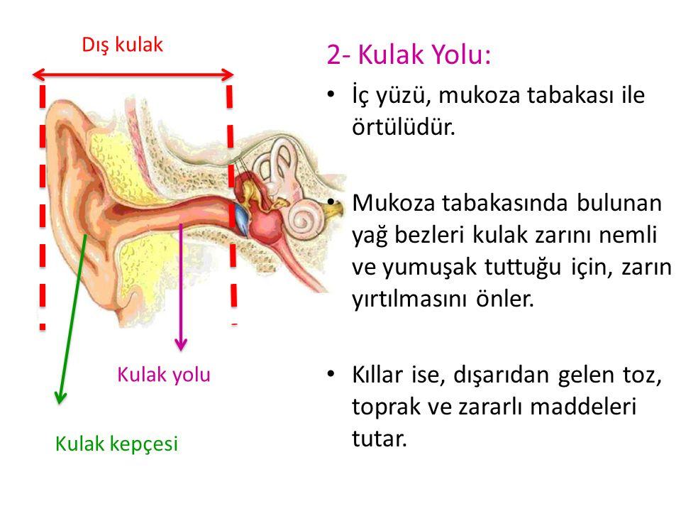 2- Kulak Yolu: İç yüzü, mukoza tabakası ile örtülüdür. Mukoza tabakasında bulunan yağ bezleri kulak zarını nemli ve yumuşak tuttuğu için, zarın yırtıl
