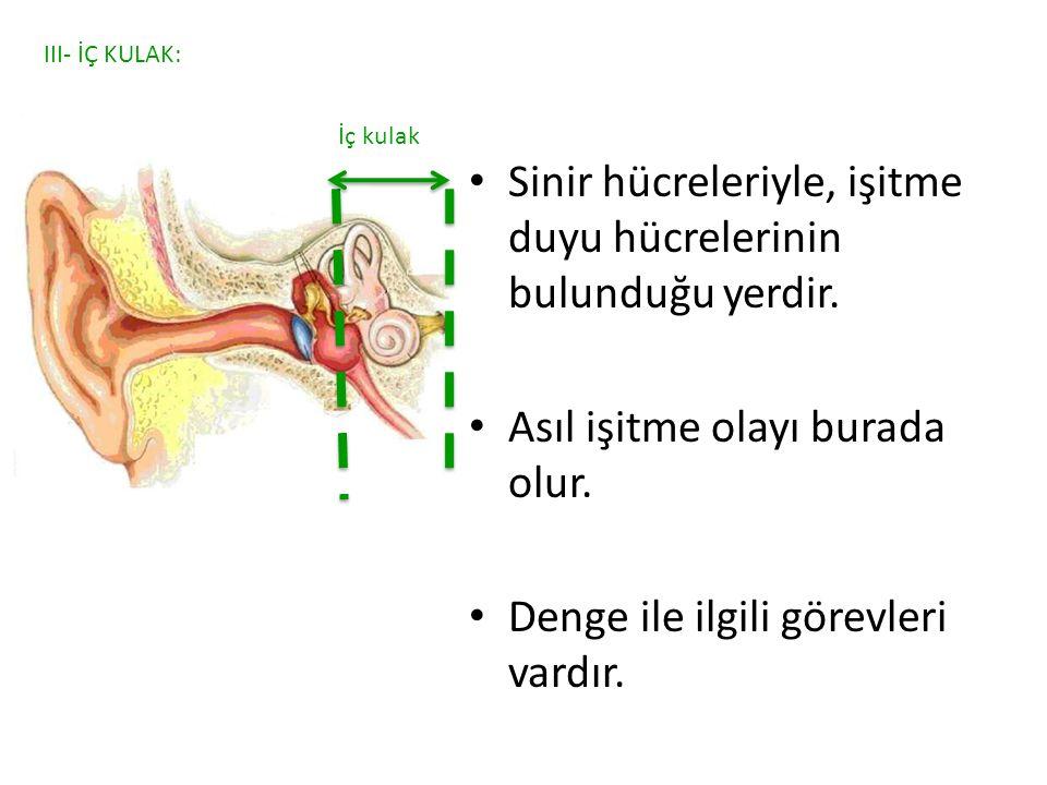Sinir hücreleriyle, işitme duyu hücrelerinin bulunduğu yerdir. Asıl işitme olayı burada olur. Denge ile ilgili görevleri vardır. III- İÇ KULAK: İç kul
