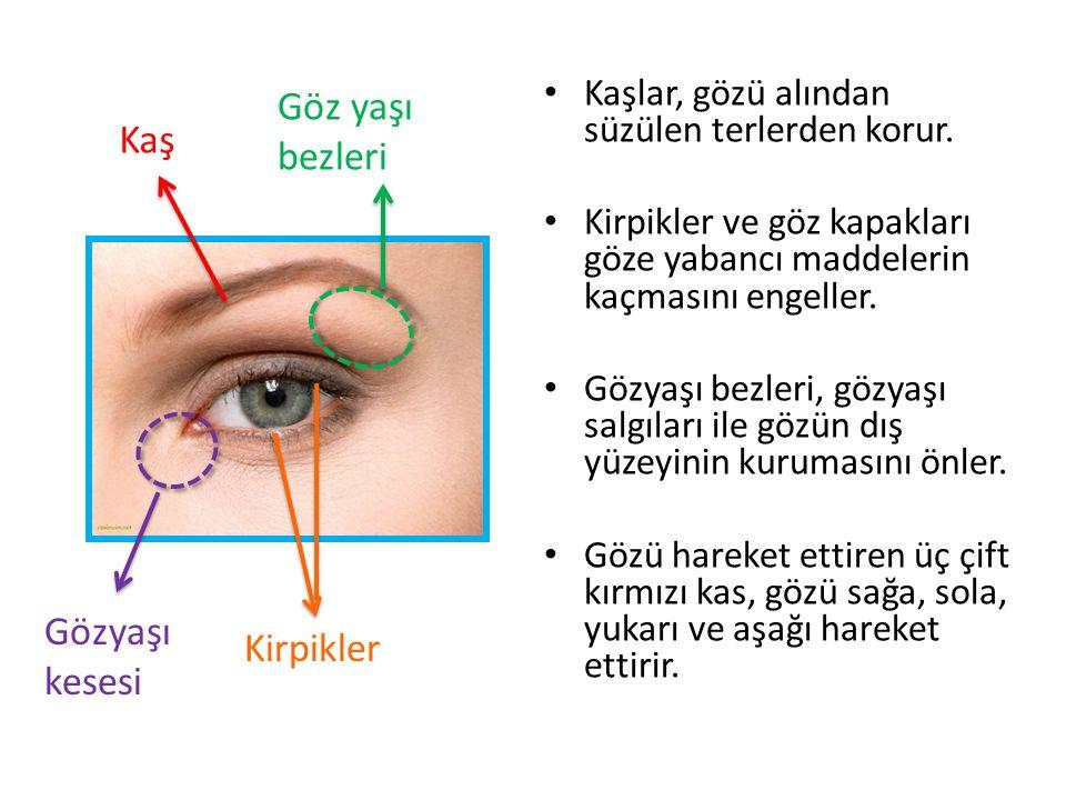 Kaş Göz yaşı bezleri Kirpikler Gözyaşı kesesi Kaşlar, gözü alından süzülen terlerden korur. Kirpikler ve göz kapakları göze yabancı maddelerin kaçması