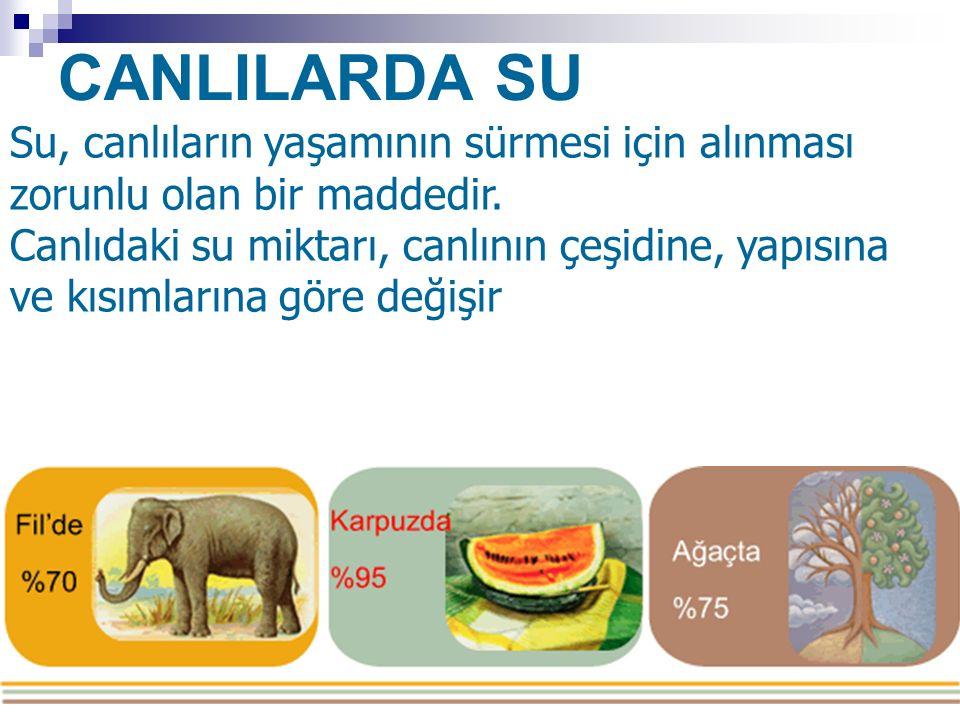 CANLILARDA SU Su, canlıların yaşamının sürmesi için alınması zorunlu olan bir maddedir. Canlıdaki su miktarı, canlının çeşidine, yapısına ve kısımları