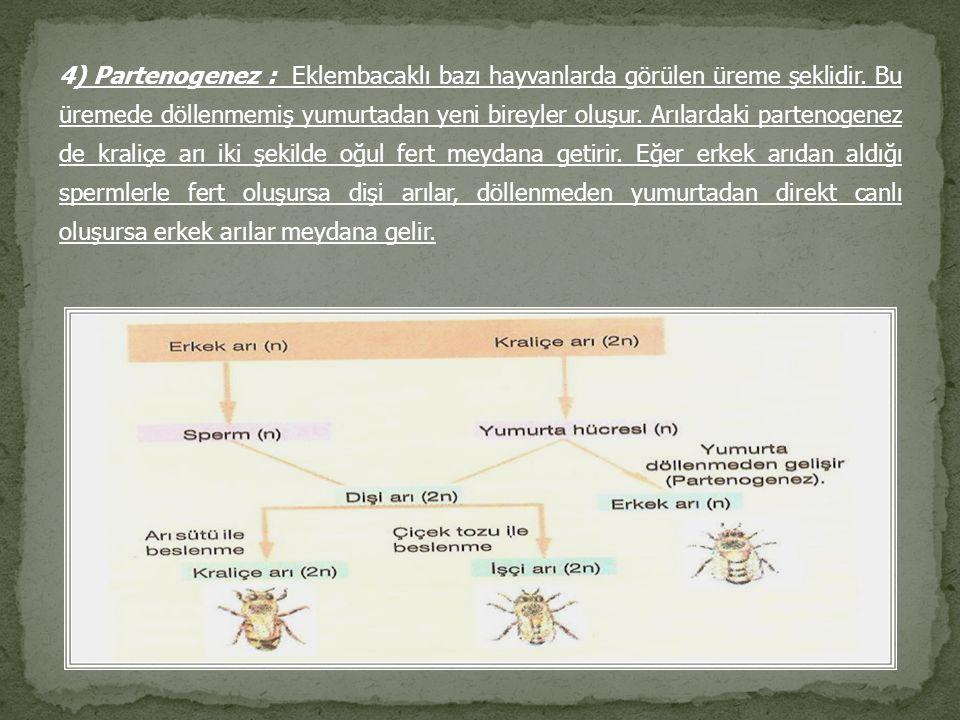 4) Partenogenez : Eklembacaklı bazı hayvanlarda görülen üreme şeklidir. Bu üremede döllenmemiş yumurtadan yeni bireyler oluşur. Arılardaki partenogene