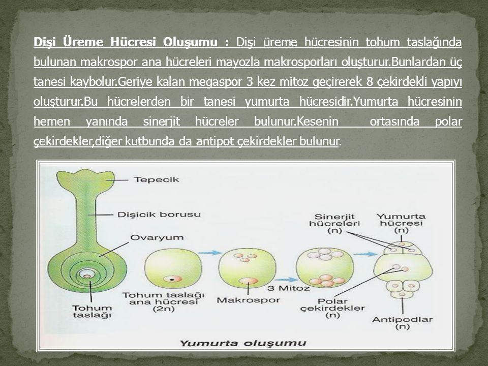 Dişi Üreme Hücresi Oluşumu : Dişi üreme hücresinin tohum taslağında bulunan makrospor ana hücreleri mayozla makrosporları oluşturur.Bunlardan üç tanes