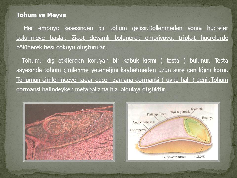 Tohum ve Meyve Her embriyo kesesinden bir tohum gelişir.Döllenmeden sonra hücreler bölünmeye başlar. Zigot devamlı bölünerek embriyoyu, triploit hücre