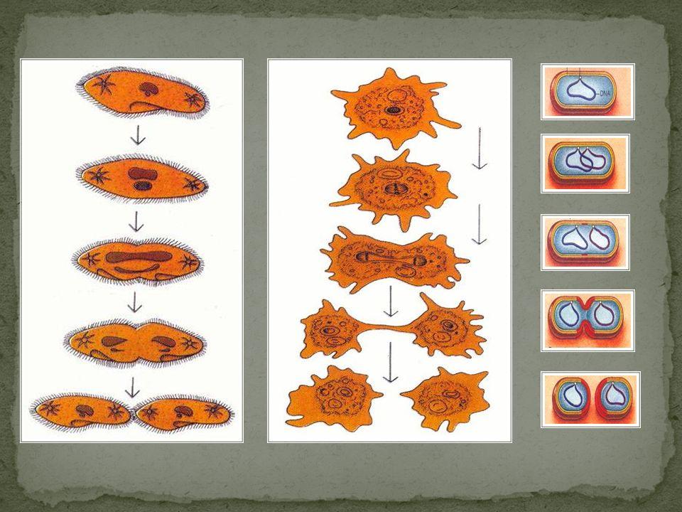 B) Tomurcuklanma : Ana canlının bir kısmında hücre bölünmesiyle tomurcuk şeklinde çıkıntı oluşturur.Bu çıkıntı zamanla gelişerek yeni bir birey meydana getirir.Bu birey ana canlıya bağlı koloni oluşturabileceği gibi bağımsızda yaşayabilir.Maya mantarlarında,hidra,medüz,mercan ve bazı bitkilerde görülür.