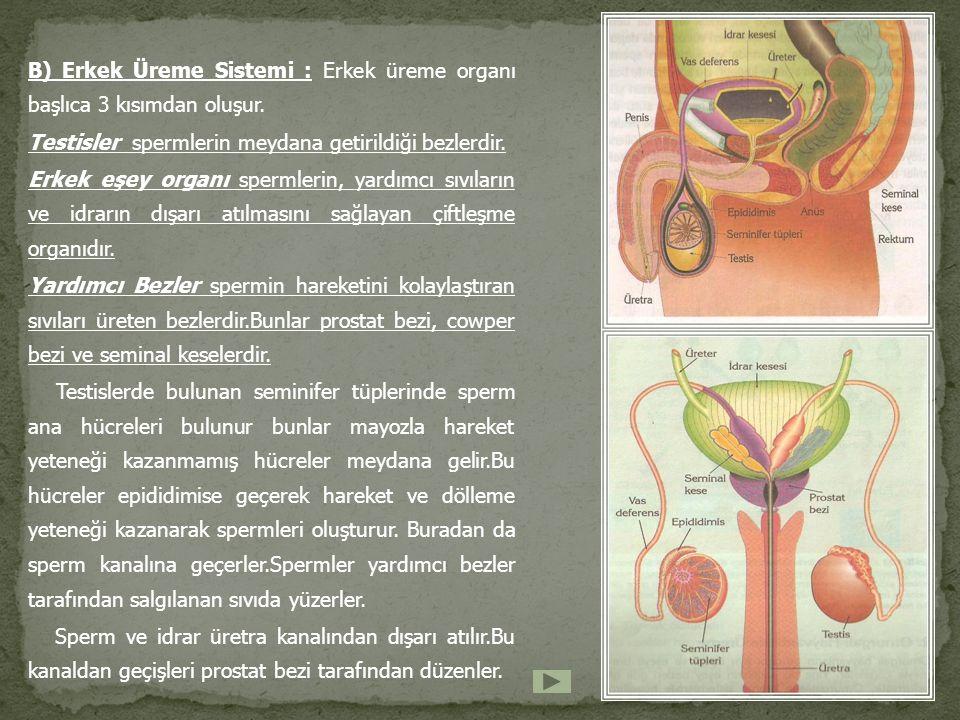 B) Erkek Üreme Sistemi : Erkek üreme organı başlıca 3 kısımdan oluşur. Testisler spermlerin meydana getirildiği bezlerdir. Erkek eşey organı spermleri